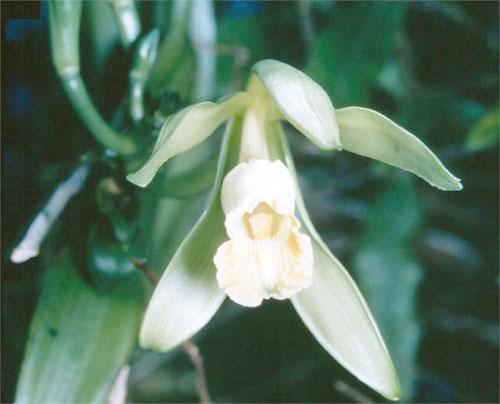 Il fiore della vaniglia